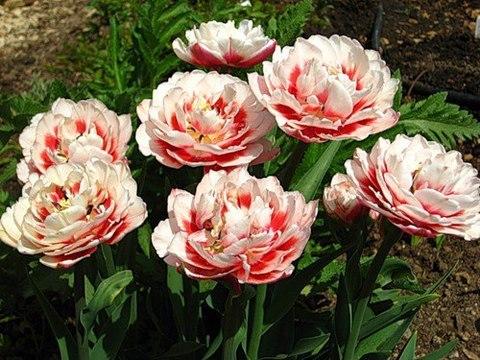 Тюльпан махровый поздний Зизани 10 штук
