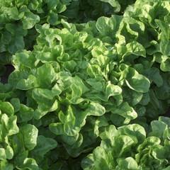 Крилда семена салата дуболистного (Rijk Zwaan / Райк Цваан)