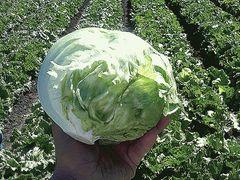 Банделир семена салата айсберг (Enza Zaden / Энза Заден)