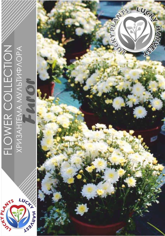 Хризантема  мультифлора  (Шаровидная) Фурор  (Chrysanthemum multiflora Furor) ТМ LUCKY HARVEST