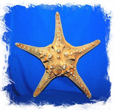 Морская Звезда 20 - 23 см