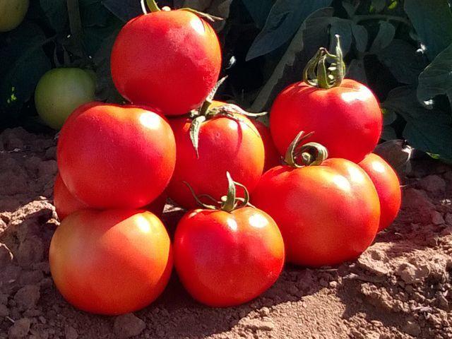 Томат Бехрам F1 семена томата детерминантного (Enza Zaden / Энза Заден) Бехрам_семена_овощей_оптом.jpeg