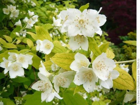 Жасмин садовый Чубушник Ауруес (Aureus)