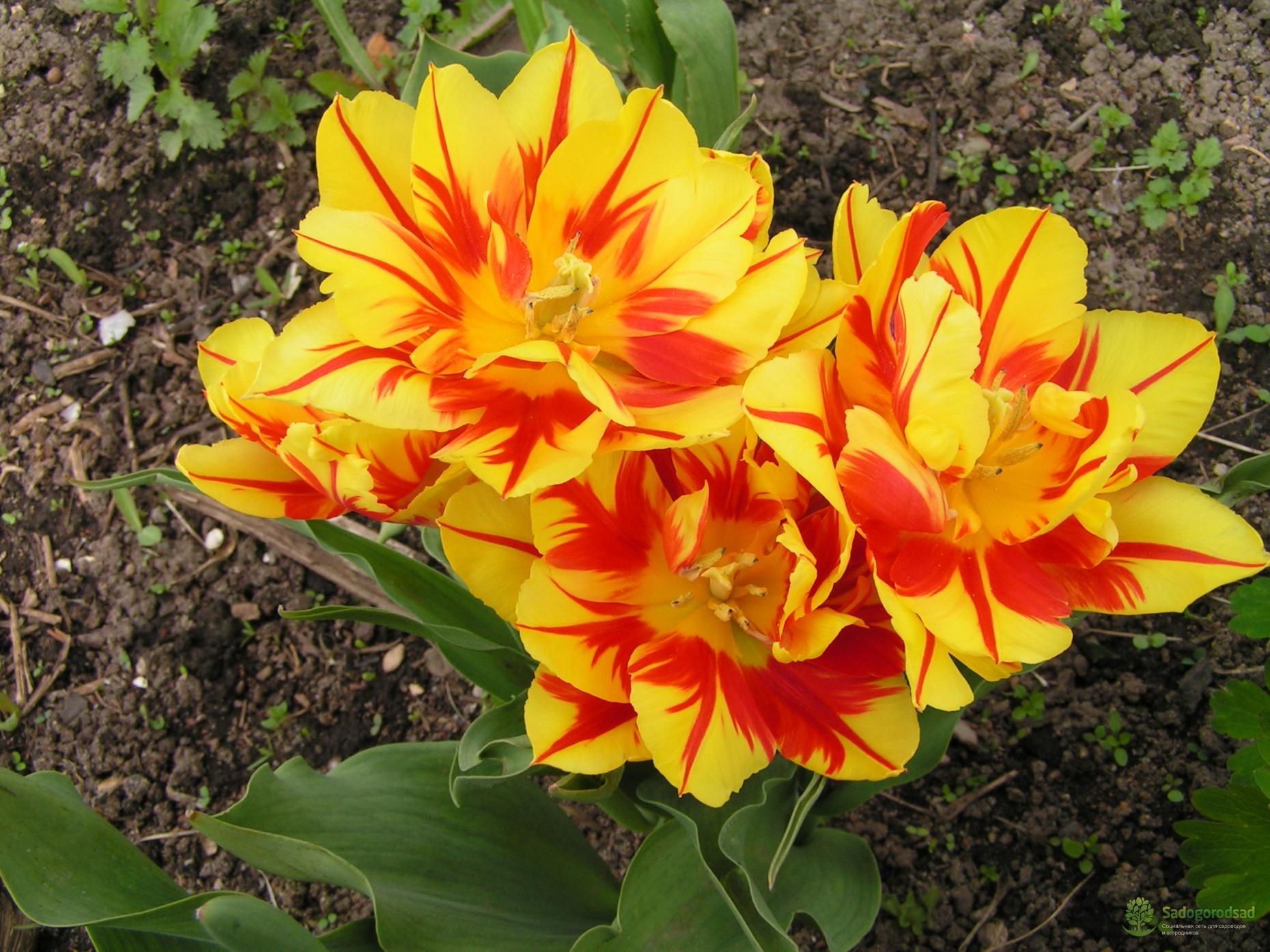 Тюльпан махровый ранний Монселла
