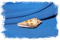 Conus pretiosus, Конус претиосус