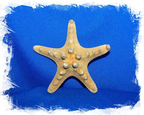 Натуральная морская звезда 7,5 - 10 см