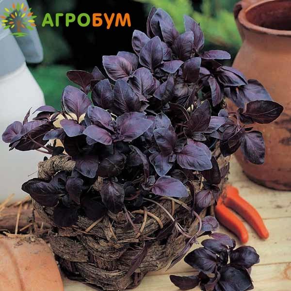 Купить семена Базилик Рубиновый карлик 0,1 г по низкой цене, доставка почтой наложенным платежом по России, курьером по Москве - интернет-магазин АгроБум