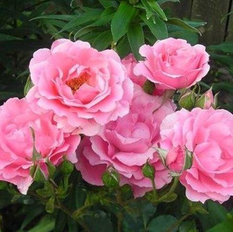 Роза флорибунда Том Том (в тубе)