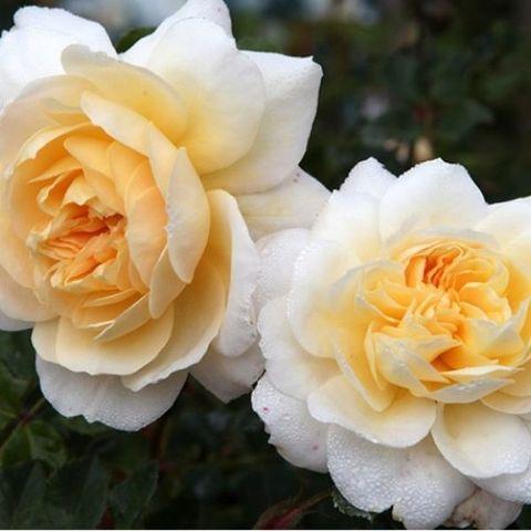 Роза английская душистая Крокуз Роуз/ Эмануэль С6