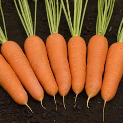 Кантон F1 семена моркови шантанэ (Bejo / Бейо)