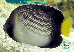 Кремовий аполемихт(Apolemichthys xanthurus), 6-7 см