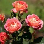Роза Приер де Сан-Косм