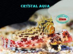 Мандаринка-скорпион(Synchiropus marmoratus), 2-3 см