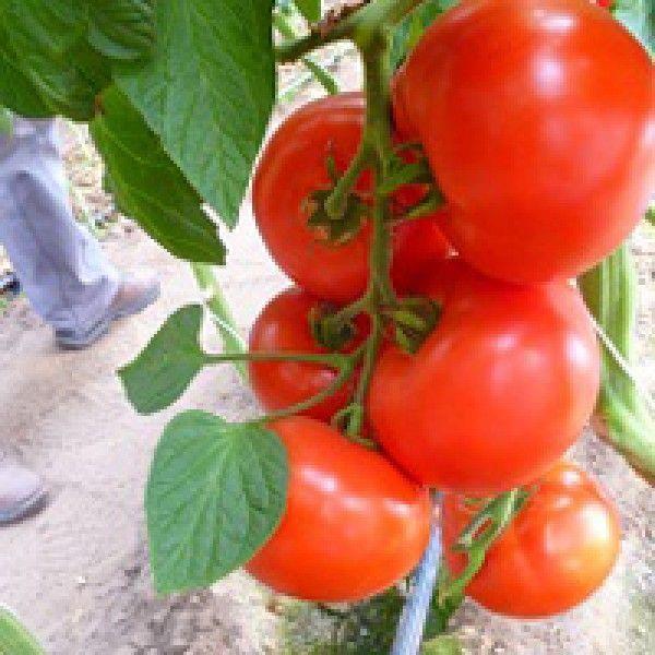 Томат Мелодия F1 семена томата индетерминантного (Seminis / Семинис) Мелодия_семена_овощей_оптом.jpg