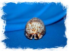Ципрея хистрио (Mauritia histrio)