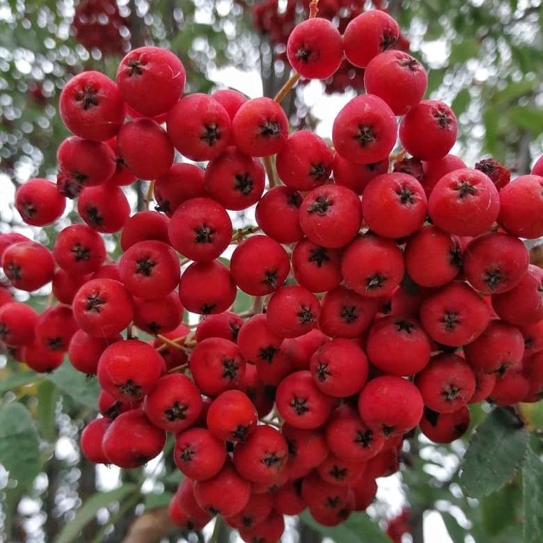 Фотография Рябина красная свежая / 500 гр купить в магазине Афлора