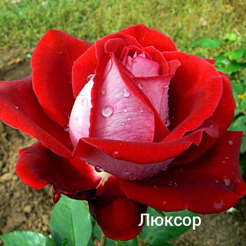 Роза чайно-гибридная Люксор С3