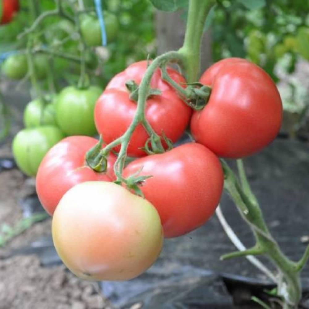 Hazera Семена томата Пинк Клейр F1, Hazera, 5 шт. томат_пинк_клэр.jpg