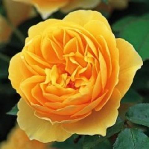 Роза пионовидная Грехам Томас С3