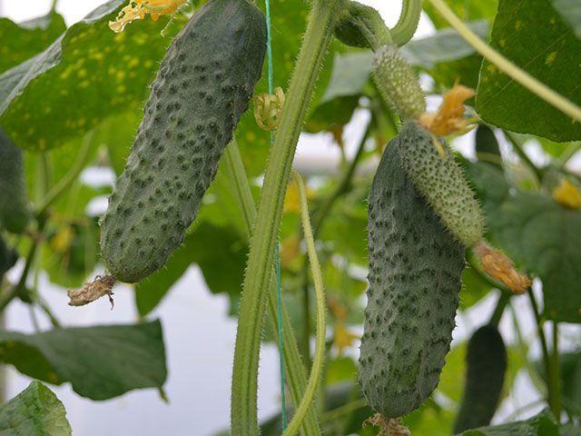 Огурец Туми F1 семена огурца партенокарпического (Enza Zaden / Энза Заден) Туми_F1_семена_овощей_оптом.jpeg