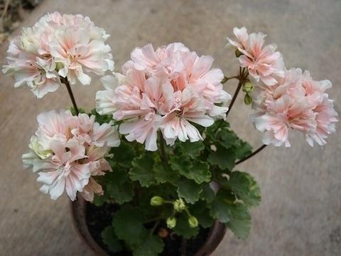 Пеларгония Parmenter Pink
