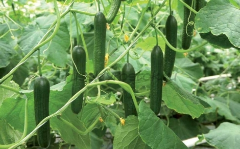 Огурец 8986 F1 семена огурца партенокарпического (De Ruiter Seeds / Де Ройтер Сидс) ogurec_glad._dr_8986_cb_f1.jpg