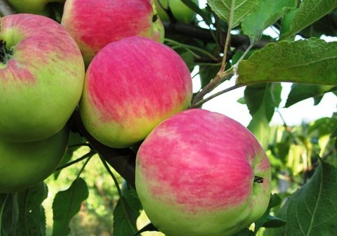 Яблоня домашняя Мантет (в тубе)