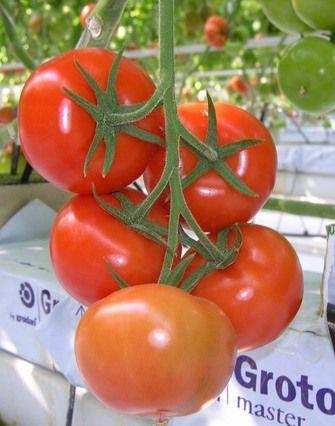Томат Мерлис F1 семена томата индетерминантного (De Ruiter Seeds / Де Ройтер Сидс) Мерлис_F1__Merlice_F1__семена_овощей_оптом.jpg