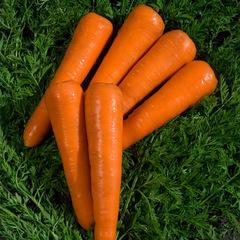 Сильвано F1 семена моркови курода/шантане (Vilmorin / Вильморин)