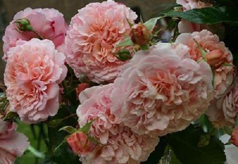 Роз де Толбиак(Rose de Tolbiac)