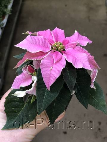 Пуансеттия Бледно-Розовый d12, d15