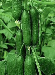 Зена F1 семена огурца партенокарпического (Sakata / Саката)