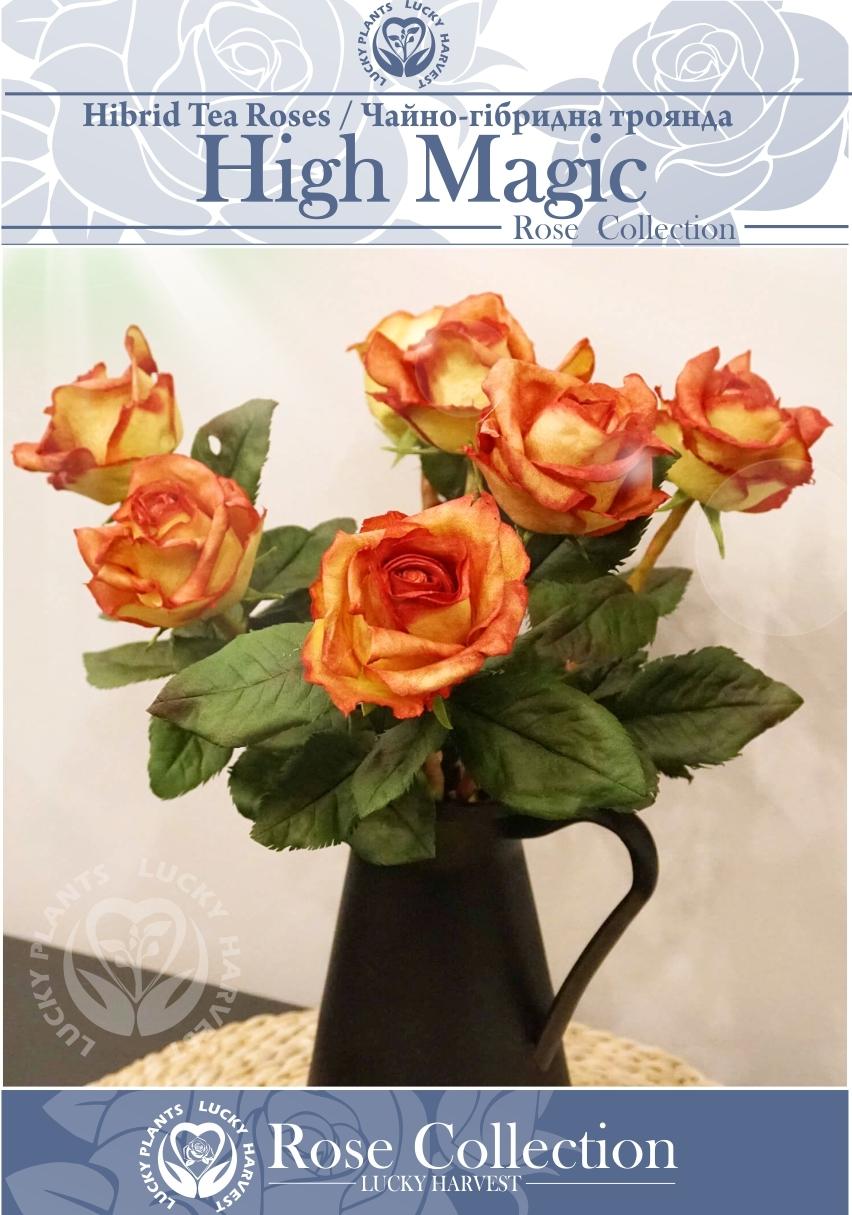Троянда Чайно-Гібридна   Двокольорова