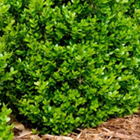 Самшит вечнозеленый C2 20-30