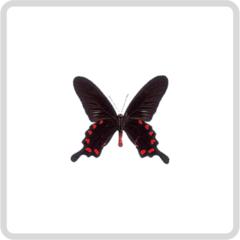 Pachliopta Kotzebuea – Парусник Коцебу