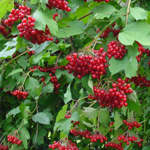 Калина красная Гордовина С60 100-150