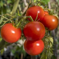 Семена томата Полбиг F1, Bejo, 10 шт.
