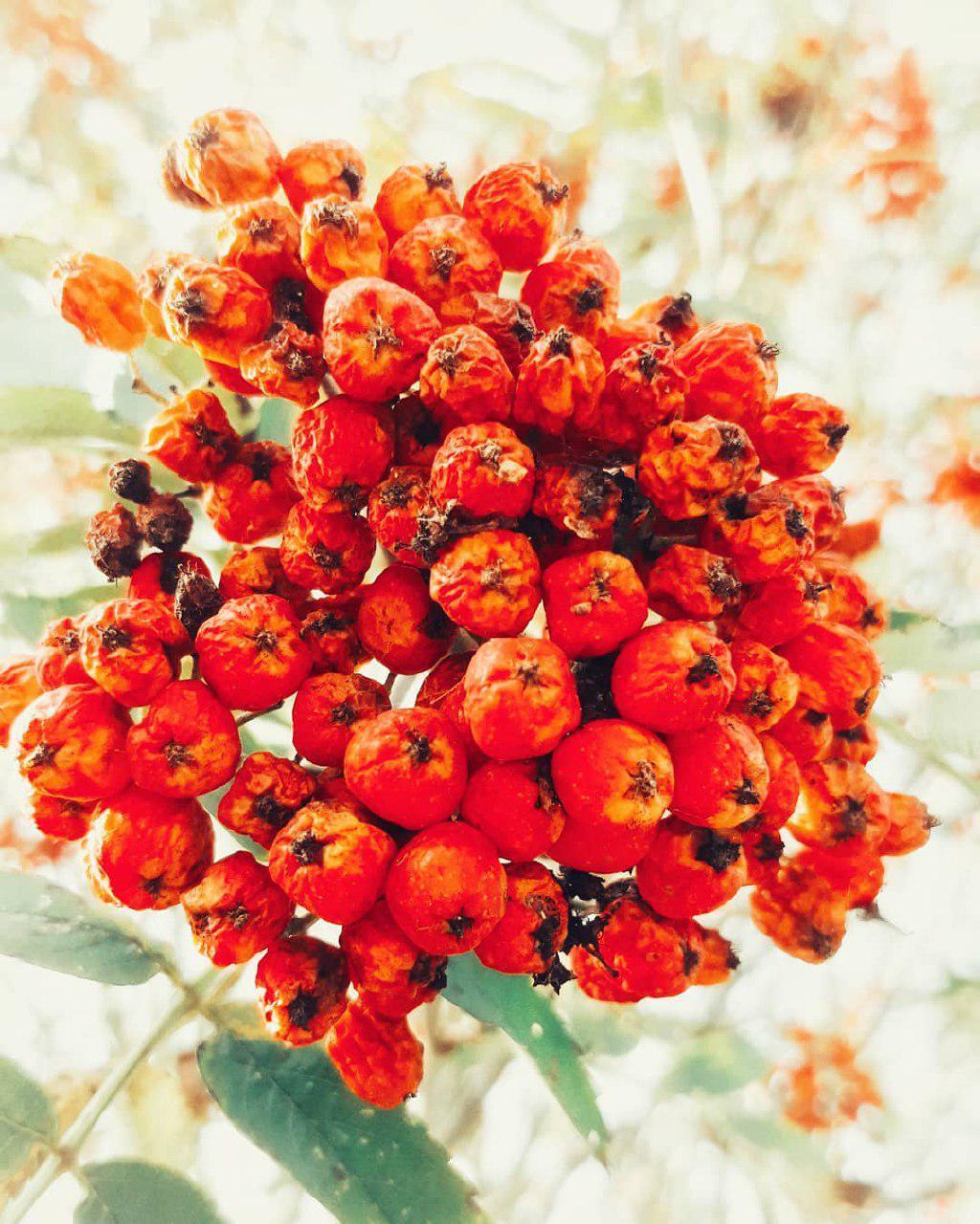 Ягоды Рябина красная, ягода сушёная rowan-berry-1.jpg