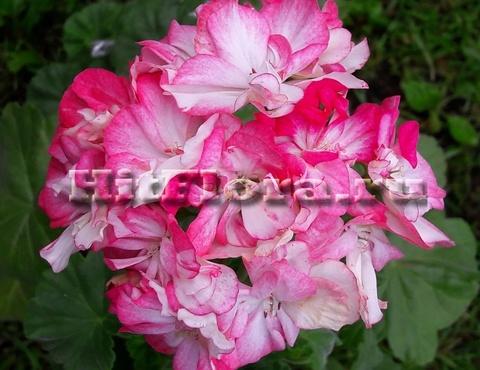 Пеларгония Dusty Rose