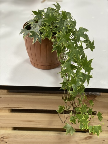 Online Houseplants in Tbilisi. Hedera