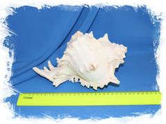 Мурекс ветвистый (Chicoreus ramosus) 23 см.