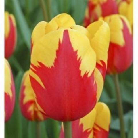 Тюльпан триумф Холланд Куин 12/+ (10шт)