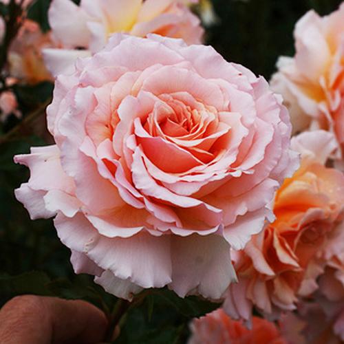 Роза флорибунда Грэйт Экспектейшнс