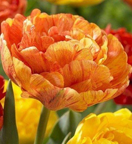 Тюльпан махровый поздний Сан  Лавер