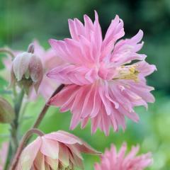 Аквилегия Пинк Барлоу (Pink Barlow)