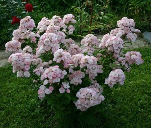 Букет Парфе  Bouquet Parfait