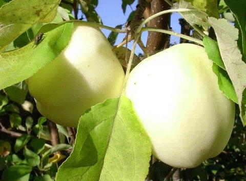 Яблоня Белый налив (подвой клоновый) премиум