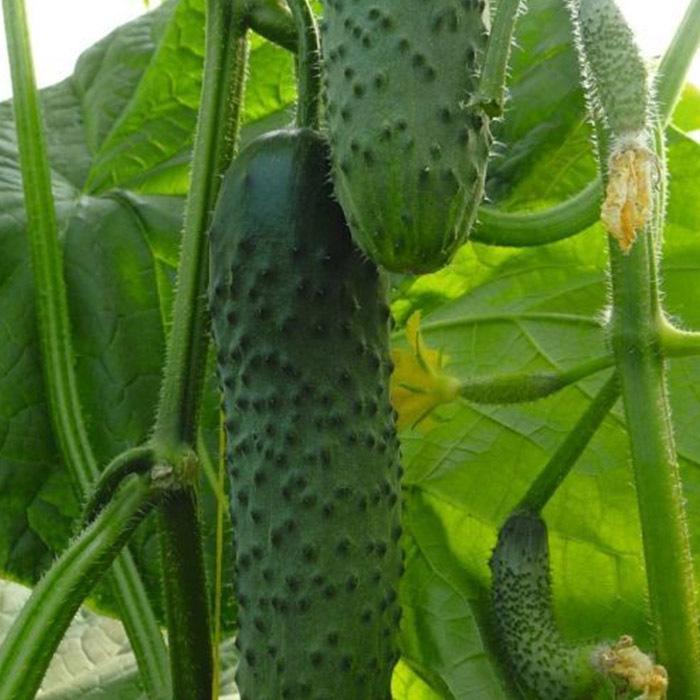 Огурец Аскер F1 семена огурца партенокарпического (Bejo / Бейо) аскер_.jpg