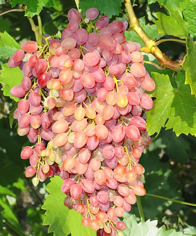 Виноград плодовый (бессемянные сорта) Кишмиш лучистый