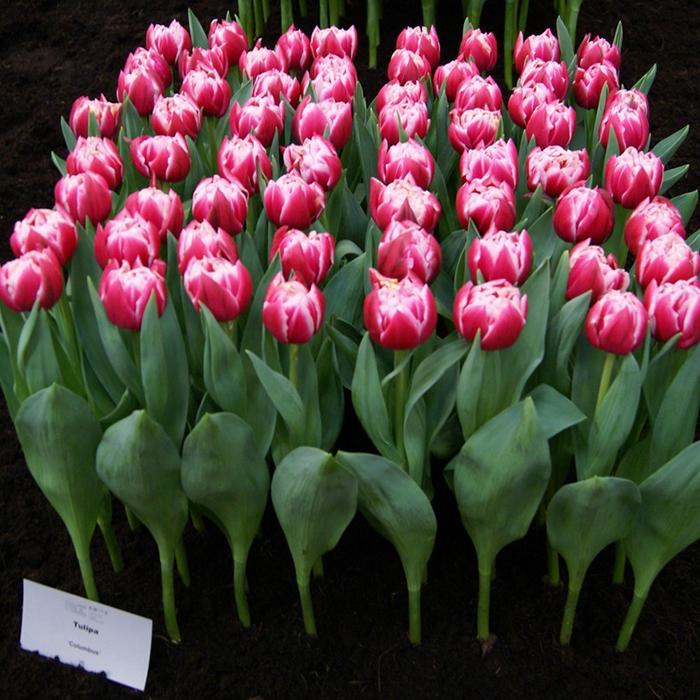 Тюльпаны пионовидные двухцветные Columbus от 9шт